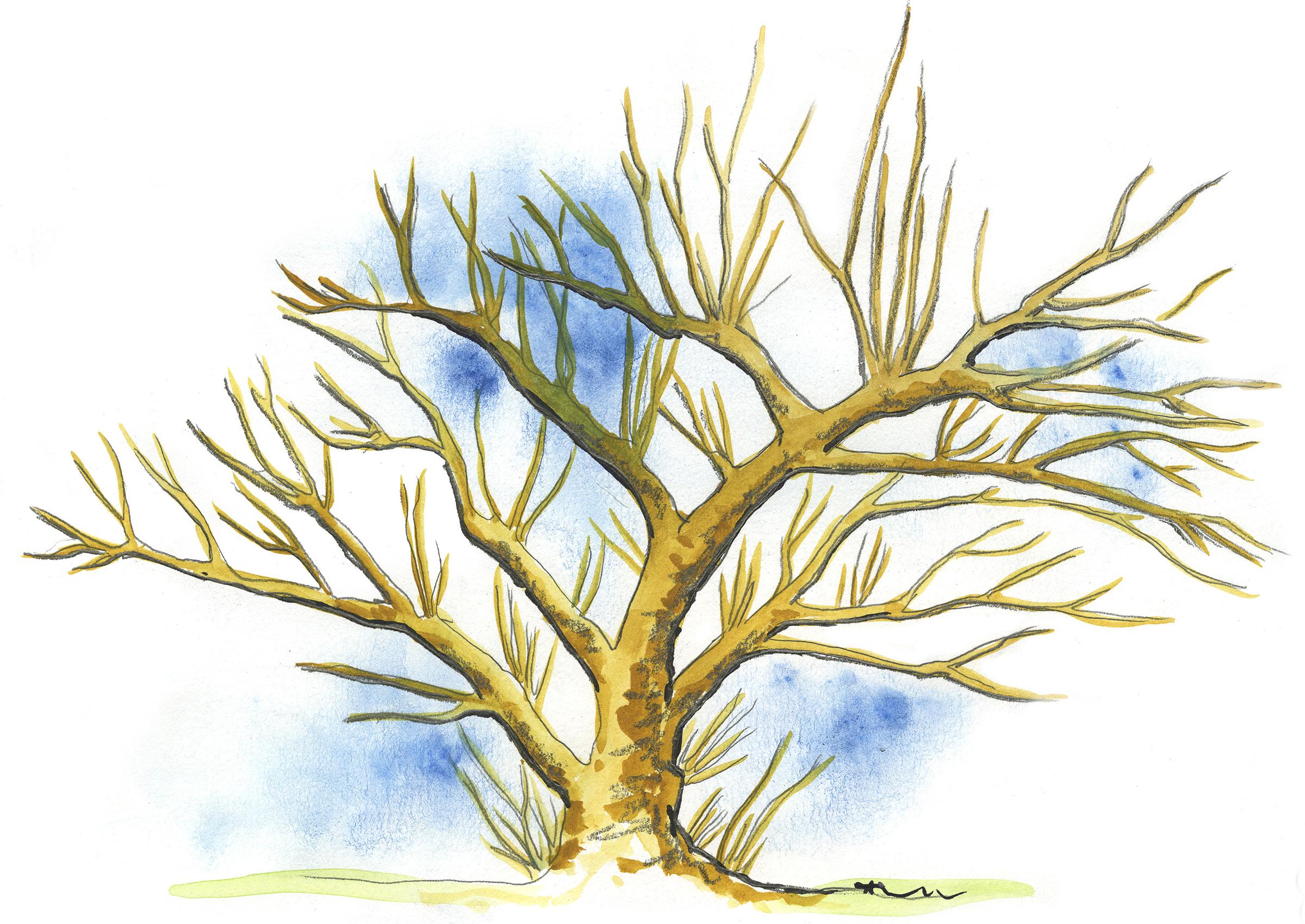 nuoren omenapuun leikkaus ohjeet