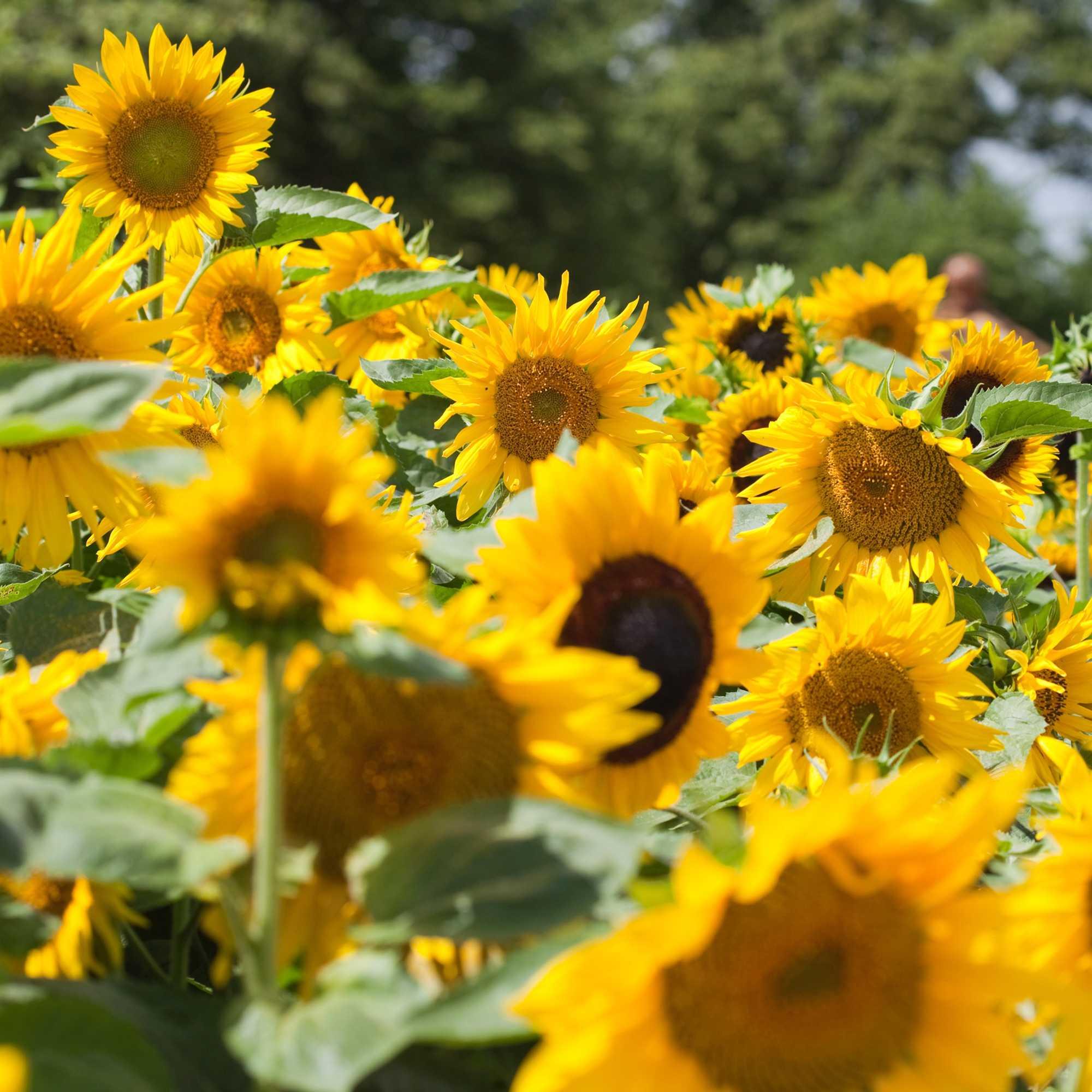 Auringonkukan Kasvatus